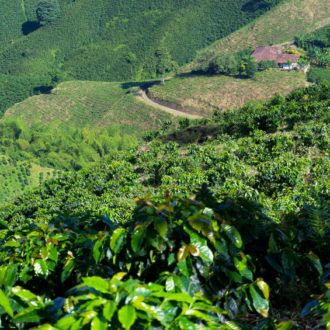 View of green coffee plants growing near Manizales, Colombia